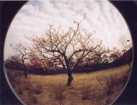 Fisheye 梅の花01.jpg